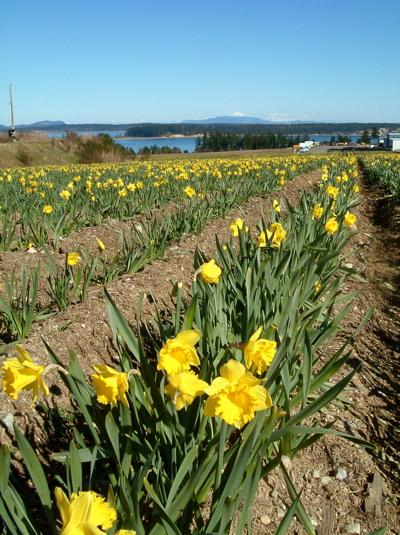 19_DaffodilField.jpg