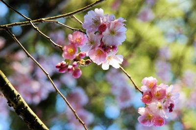 20_cherryblossoms.JPG